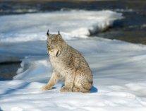 Elusive Lynx at Sun Peaks Resort