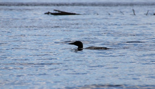 Loon on McGillivray Lake at Sun Peaks - Canoe tour Review