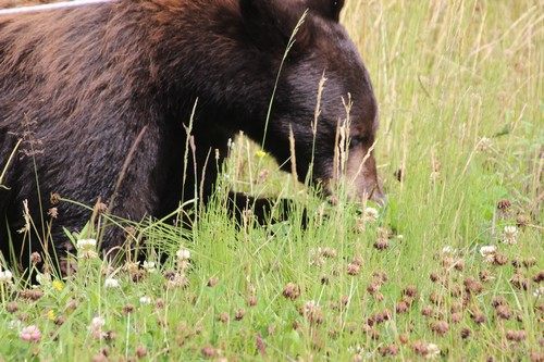 Sun Peaks wildlife - black bears