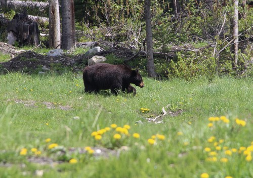 Sun Peaks bear in the spring