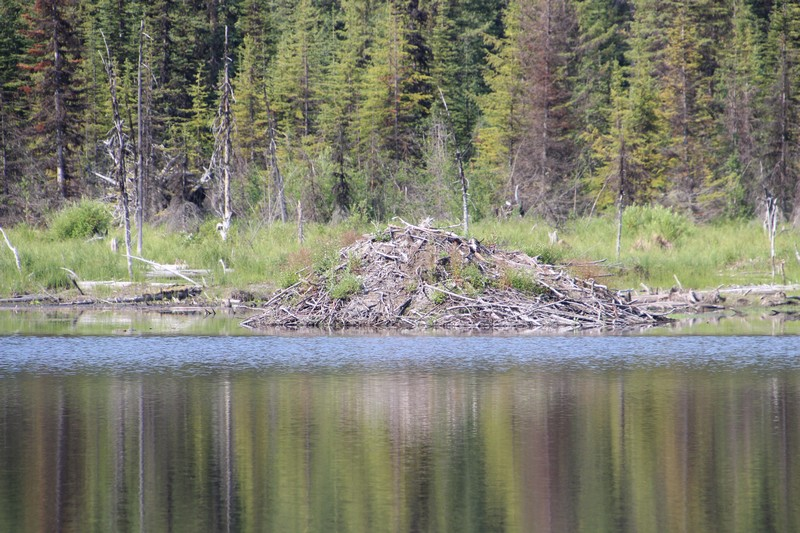 Sun Peaks wildlife and animals - beaver dam