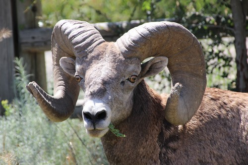 Big horn sheep and hoodos seen on the way
