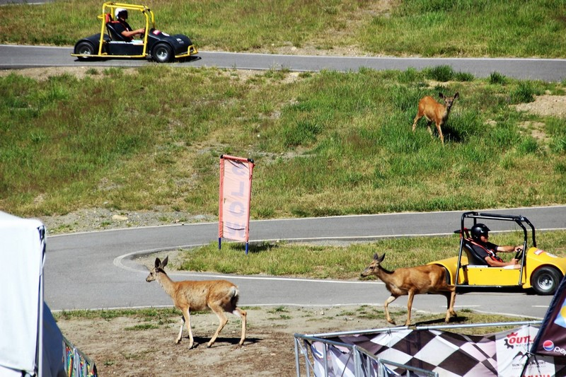 Sun Peaks Wildlife - mule deer and go carts