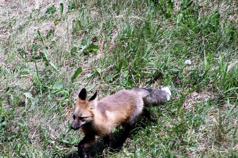 Sun Peaks wildlife- Red Fox