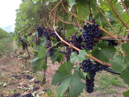 Pinot grapes and Sun Peaks Winery Tours