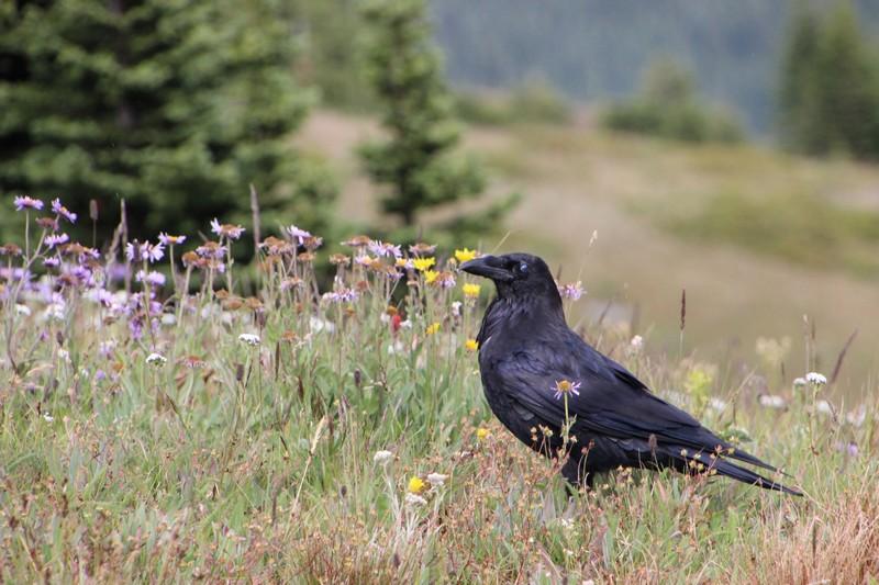 Sun Peaks wildlife - birds