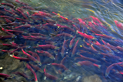 Millions of Sockeye Salmon Expected Adams River near Best Sun Peaks