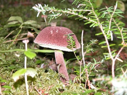 Mushroom picking near Sun Peaks - porcini, morcels and more