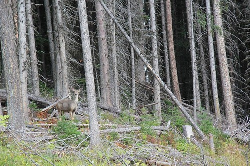 Deer and scenery at Sun Peaks resort on free summer hiking trails