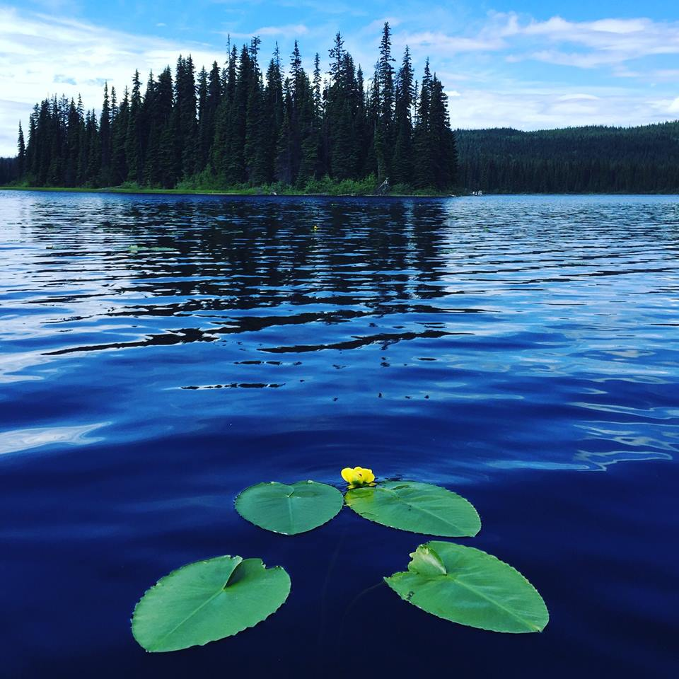 Water lilies on McGillivray Lake near Sun Peaks Resort
