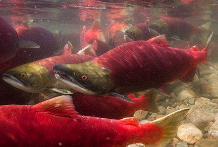 Adams River Sockeye Salmon Run - photo Jett Britnell
